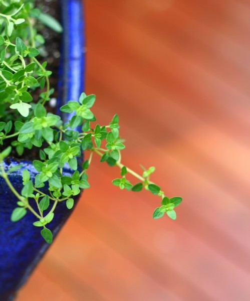 thyme plant in my deck