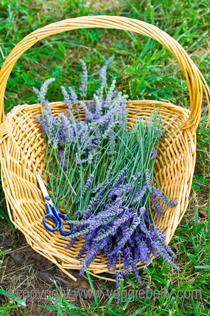 cut lavender in basket